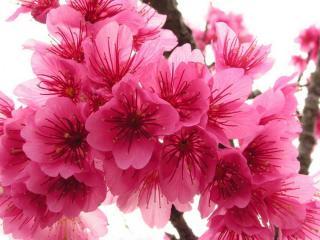 обои для рабочего стола: Весенний цвет граната