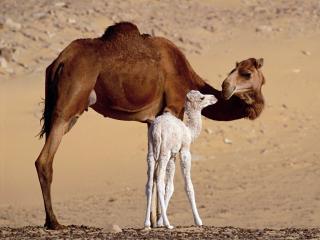 обои Верблюды фото