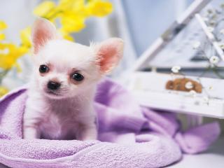 обои Молоденький щенок в голубом полотенце фото