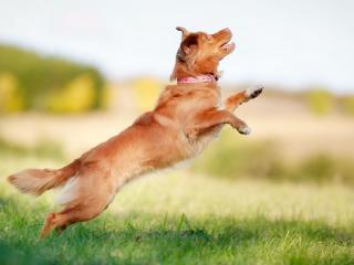 обои Рыжий пес ловит мяч фото