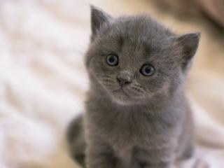 обои Внимательный взгляд британского котенка фото