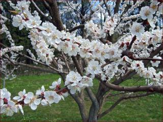 обои для рабочего стола: Душа абрикосового дерева