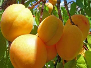обои Сочные абрикосы фото