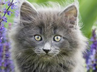 обои Серый котенок в голубых цветах фото