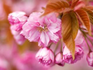 обои Нежно розовые цветы кустарника фото