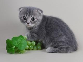 обои Котёнок с виноградом фото
