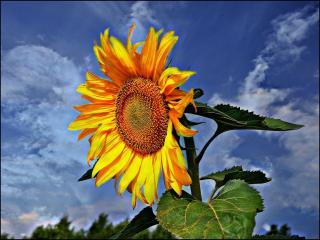 обои Солнечный подсолнух фото