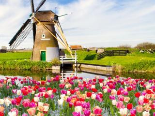 обои Лужайка тюльпанов у мельницы фото