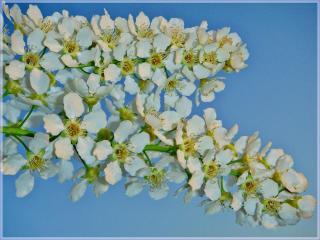 обои для рабочего стола: Черёмухи весенний цвет