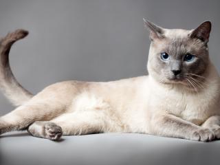 обои Сиамская голубоглазая красотка фото