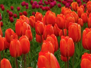 обои Дружный отряд тюльпанов фото