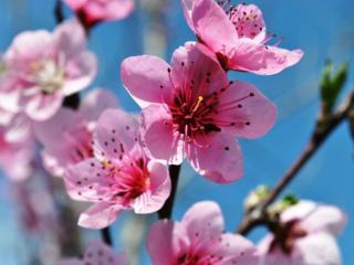 обои для рабочего стола: Цветение персика