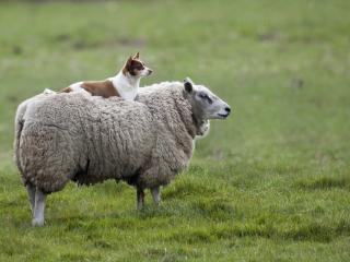 обои Внимательный наездник овцы фото