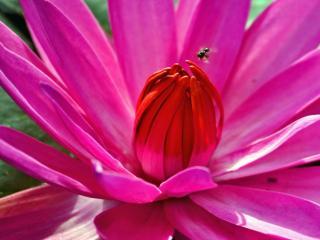 обои В сердце цветка фото