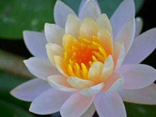 обои Водяная жёлто-белая лилия фото