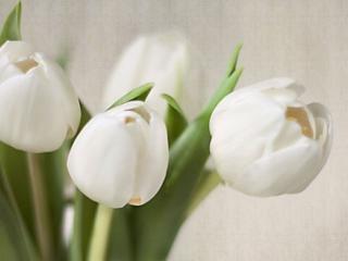 обои Белые тюльпаны фото