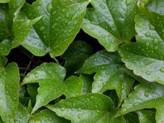 обои для рабочего стола: Зеленые листья в каплях дождя