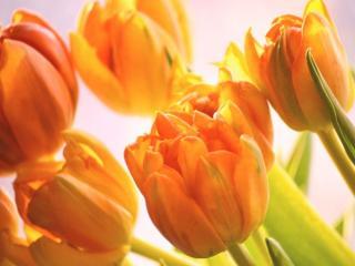 обои Оранжевые тюльпаны фото