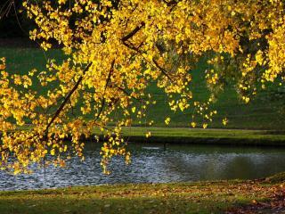 обои для рабочего стола: Пожелтевшее дерево у пруда