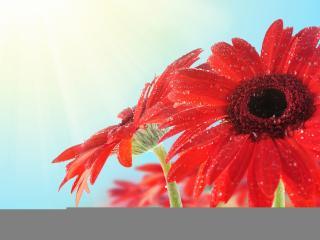 обои Красные цветы в каплях росы фото