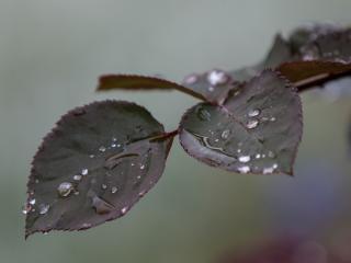 обои Листья розы в каплях дождя фото