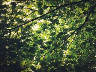 обои Ветви зелёного клёна фото