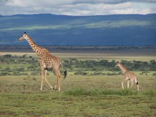 обои Жирафы - мама с ребёнком фото