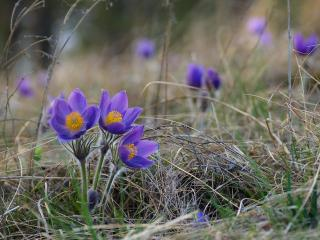 обои Три цветка сон-травы фото