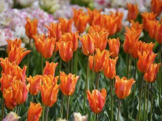 обои Трубчатые тюльпаны фото