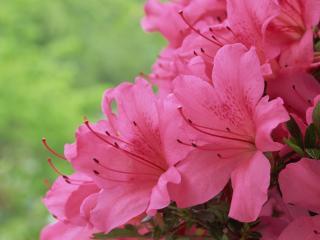 обои Распустившаяся розовая лилия фото