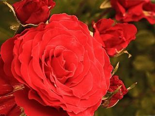 обои Бархатная роза с бутонами фото