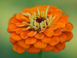 обои Оранжевая циния фото