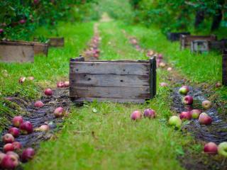 обои Яблоневый урожай на траве фото