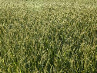 обои Зеленое поле колосьев фото