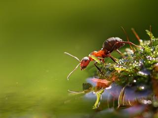обои Муравей у воды фото