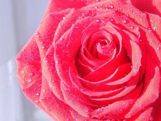 обои Алый цветок розы в росе фото