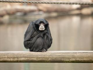 обои Черная обезьяна на сухом бревне фото