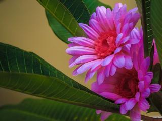 обои Малиновый цвет кактуса фото