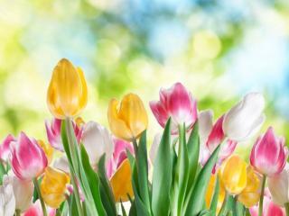 обои Тюльпановые блики фото