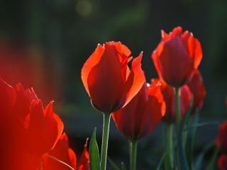 обои Тюльпановый закат фото