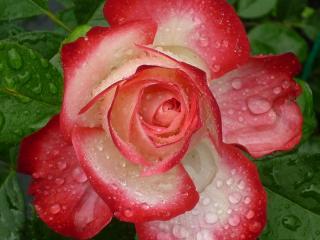 обои Распустившаяся роза в каплях дождя фото
