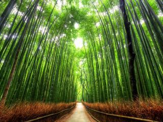 обои для рабочего стола: Дорога сквозь бамбуковый лес