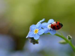обои Божья коровка на голубом цветке фото