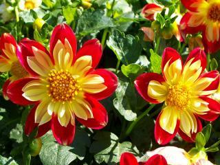 обои Дачные цветочки фото