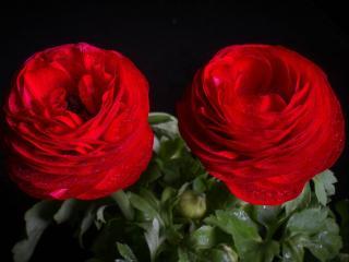 обои Два красных цветка в каплях с бутоном фото