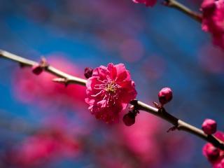 обои для рабочего стола: Красные цветы на ветке