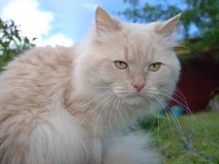 обои Кот на даче фото