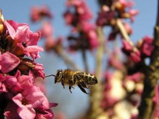 обои Полёт пчелы фото