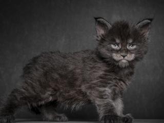 обои Страшненький молодой котенок фото
