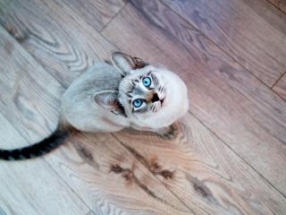 обои Голубоглазый кот смотрит вверх фото